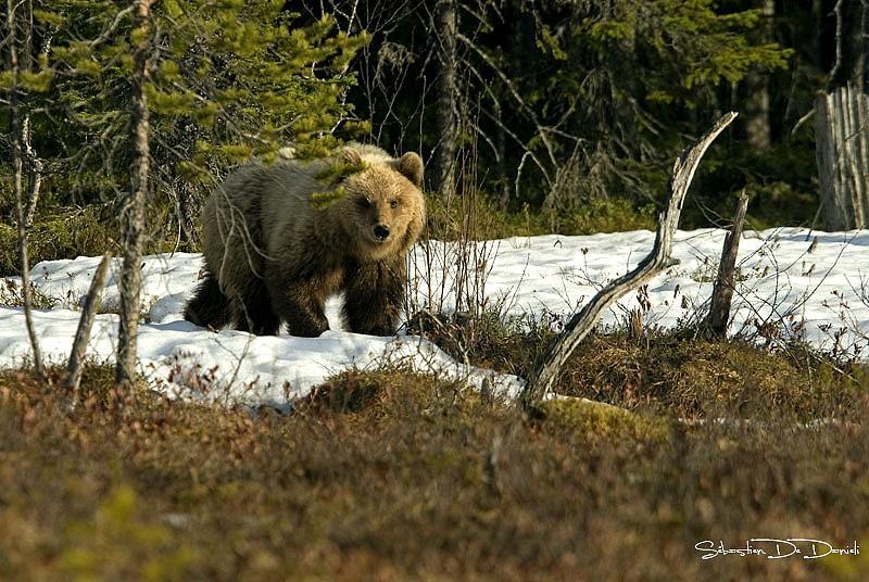 pre_Jeune-ours-face