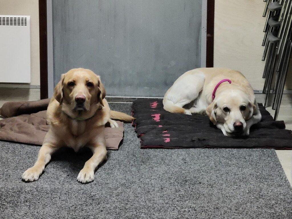 Koira pystyy tunnistamaan koronaviruksen jopa 4 päivää etuajassa – Siltasairaalan rakennustyömaan koronakoirapilotissa on jo haisteltu 200 kasvomaskia
